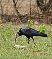 Southern Bald Ibis (Geronticus calvus) (31692948534).jpg