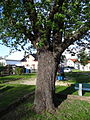 Speierling auf dem Spielplatz (Butzbach) 08.JPG