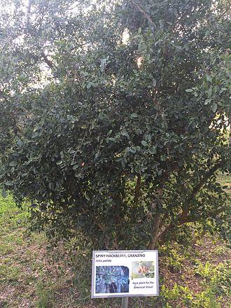 Granjeno, Texas - Spiny Hackberry or Granjeno (Celtis pallida)