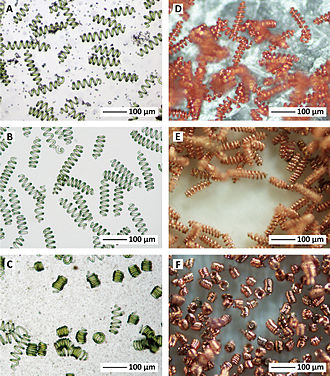 Spirulina (genus) - Microcoils produced by electroplating copper on Spirulina bacteria.