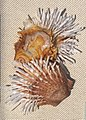 Spondylus albibarbatus IMG 5287 Beijing Museum of Natural History - NHM of Guangxi - Gulf of Tonkin collection - Copy.jpg