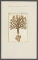 Spongia damicornis - - Print - Iconographia Zoologica - Special Collections University of Amsterdam - UBAINV0274 112 02 0018.tif