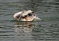 Spot-billed Pelican (Pelecanus philippensis) bathing in Uppalpadu, AP W IMG 3492.jpg