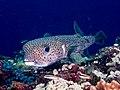 Spot-fin porcupinefish (Diodon hystrix) (49253022222).jpg