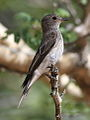 Spotted flycatcher, Muscicapa striata, at Marakele National Park, Limpopo, South Africa (15696892824).jpg
