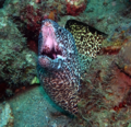 Spotted moray in Tyrona.png