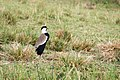 Spur-winged lapwing - Queen Elizabeth National Park, Uganda.jpg