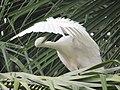 Sri Lankan White Egret.jpg