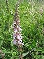 Stachys palustris 3-eheep (5097409343).jpg