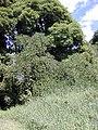 Starr-021012-0069-Pueraria montana var lobata-habit flowers-Wailua-Maui (23926162553).jpg