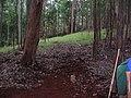 Starr-041214-1488-Eucalyptus sp-trail building-Makawao Forest Reserve-Maui (24353203739).jpg