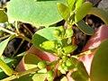 Starr-041223-2231-Senna gaudichaudii-flower buds-Kanaio Beach-Maui (24354946269).jpg