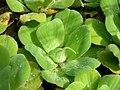 Starr-061108-9787-Pistia stratiotes-in water garden-Hoolawa Farms-Maui (24240526684).jpg