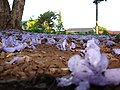 Starr-070519-7136-Jacaranda mimosifolia-flowers on ground-Makawao-Maui (24795950231).jpg