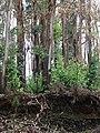 Starr-070908-9233-Eucalyptus globulus-rebounding after fire-Polipoli-Maui (24597371610).jpg