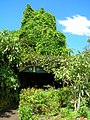 Starr-071024-8816-Strongylodon macrobotrys-habit-Enchanting Floral Gardens of Kula-Maui (24776925582).jpg