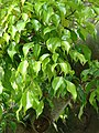Starr-080531-4987-Ficus benjamina-leaves-4208 Commodore Ave Sand Island-Midway Atoll (24817704831).jpg