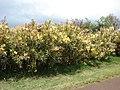 Starr-090417-6146-Nerium oleander-variegated habit-Haliimaile-Maui (24321603904).jpg