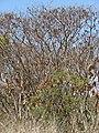 Starr-090429-6496-Albizia lebbeck-habit with seedpods-Paia-Maui (24584920899).jpg