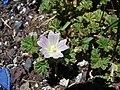 Starr-090504-7254-Malva neglecta-flowers and leaves-Science City-Maui (24860882001).jpg