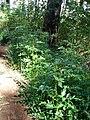 Starr-090521-8214-Rubus niveus-habit-Polipoli-Maui (24329178563).jpg