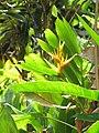 Starr-090617-0813-Heliconia psittacorum x spathocircinata-flowers and leaves-Ulumalu Haiku-Maui (24938460146).jpg