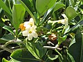 Starr-090721-3271-Fagraea berteroana-flowers-Wailuku-Maui (24602877269).jpg