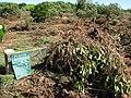 Starr-110312-3159-Thespesia populnea-tsunami damage debris on barricade-Kanaha Beach-Maui (25053047566).jpg