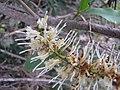 Starr-120319-3966-Macadamia integrifolia-flowers-Upper Kimo Kula-Maui (25138081525).jpg