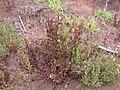 Starr-120501-5454-Epilobium ciliatum-flowering habit with E billardierianum subsp cinereum-Polipoli-Maui (24774388229).jpg