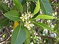 Starr-120510-5685-Lophostemon confertus-flowers and leaves-Ka Hale Olinda-Maui (25116076166).jpg