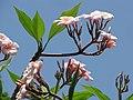Starr-120522-6676-Plumeria rubra-flowers-Iao Tropical Gardens of Maui-Maui (24513420704).jpg