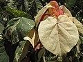 Starr-120614-7424-Hibiscus tiliaceus-variegated leaves-Waihee Coastal Preserve-Maui (24849996970).jpg