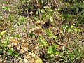 Starr-130320-3455-Ageratum conyzoides-habit with bean butterfly Lampides boeticus-Mokolea Pt Kilauea Pt NWR-Kauai (25090942562).jpg