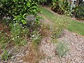 Starr-130504-4387-Coriandrum sativum-flowering habit-Hawea Pl Olinda-Maui (25184301446).jpg