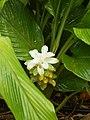 Starr-140925-1978-Curcuma longa-flowers-Pali o Waipio Huelo-Maui (24615928574).jpg