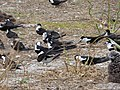 Starr-150403-0275-Coronopus didymus-Sooty Terns settling down-Southeast Eastern Island-Midway Atoll (24908394479).jpg