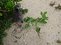 Starr-150404-0603-Ricinus communis-small plant pulled out-Radar Hill Sand Island-Midway Atoll (24910501959).jpg