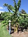 Starr-151029-2752-Musa x paradisiaca-Forest and Maia Manini fruit-Maui Nui Botanical Garden Kahului-Maui (25679784573).jpg
