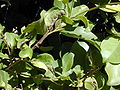 Starr 001228-0144 Ficus microcarpa.jpg