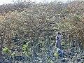 Starr 010714-0023 Erythrina sandwicensis.jpg