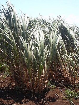Escada, Pernambuco - Sugarcane plantation in Escada