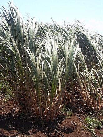 Barra de São Miguel, Alagoas - Sugarcane in Maceió, Alagoas.