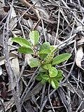 Starr 031002-0010 Psidium cattleianum.jpg