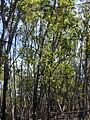 Starr 031013-0011 Acacia mangium.jpg