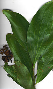 Starr 031013-8002 Acacia mangium.jpg