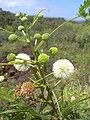 Starr 040513-0024 Leucaena leucocephala.jpg