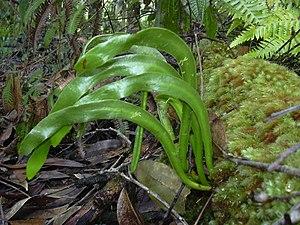 Ophioderma falcatum - Ophioderma falcatum in Hawaii