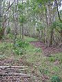Starr 041214-1500 Acacia koa.jpg