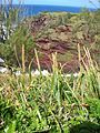 Starr 050315-5190 Eragrostis variabilis.jpg